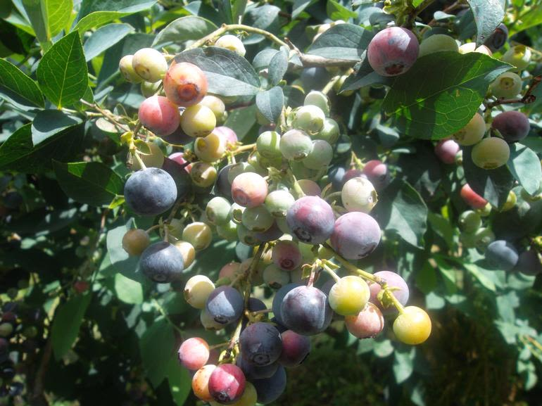 Collie Blueberry Farm - The different stages of blueberry ripening