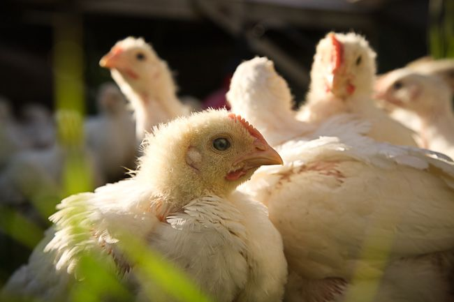 Afton Field Farm - Our broiler chickens are raised on pasture.