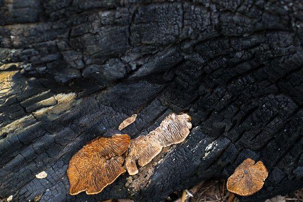 Meadow Mist Farm - Mushrooms growing on old burnt log at Meadow Mist Farm