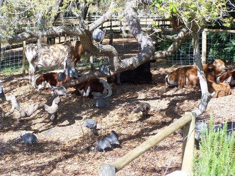 Lake Meadow Naturals, LLC - Guiena hens and Cattle resting enjoying life under a beautiful tree on the farm