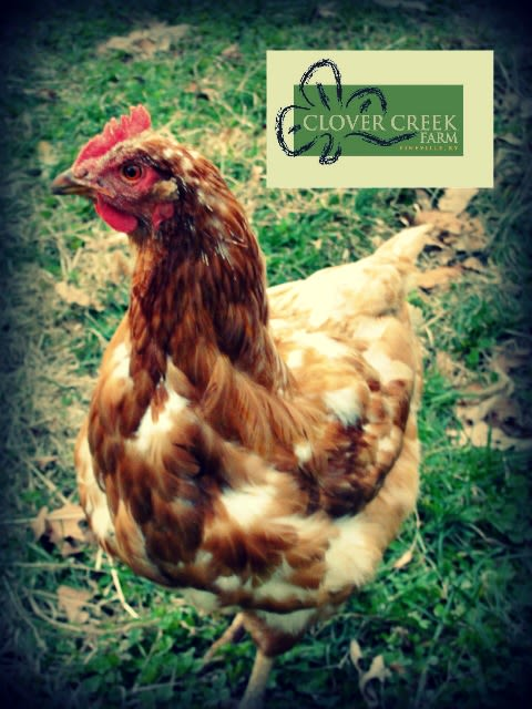 Clover Creek Farm - One of our free range hens!