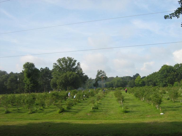 Ridemore Farm - Blueberry and Blackberries orchard