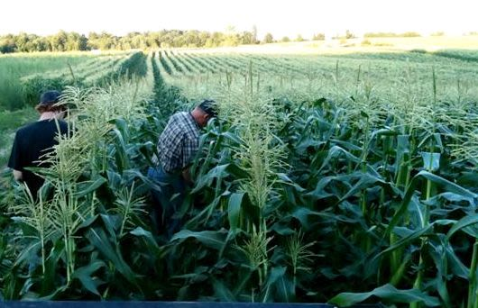 Corn Acre Farms - Neil and Grandson Cody picking Corn