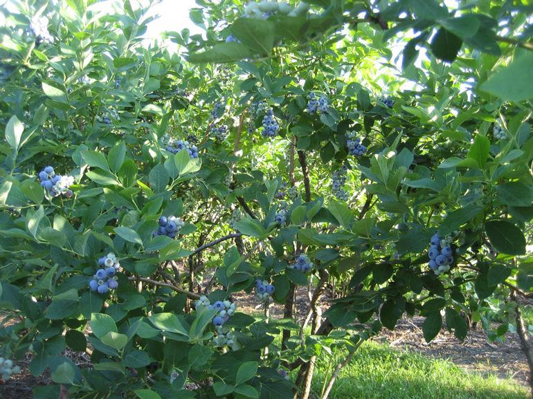 Rolling Ridge Berry Farm - Last years (2009) crop!