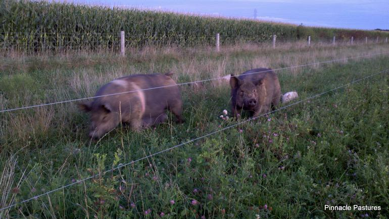 Pinnacle Pastures - Red Stripe and Field Boss enjoy an evening stroll down the lane with their litters. They are Berkshire x Hampshire cross litter-mate sisters and the basis for our sow herd. We currently have Duroc and Berkshire boars to produce premium pork products for your dinner table.