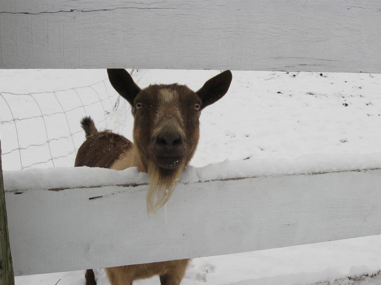 """Simcock Farm - Esther """" The Mayor"""" of Simcock Farm"""