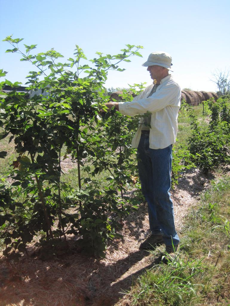 Fairfield Fruits - Me (the owner Rick) picking blackberries.  Over 4 acres of straw mulched small fruit (strawberries, blackberries, raspberries) on clean grass sodded lanes.