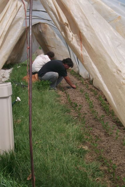Boulder Belt Eco-Farm - Planting Celeriac in a hoophouse 4-20-12