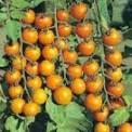Meadow Mist Farm - Sun Gold Tomatoes