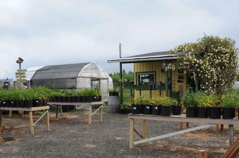 Lily Lane Farm - The farm gift shop and sales area, with daylily pots, as seen from Highway 105.