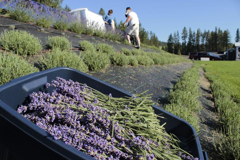 Evening Light Farms - Harvesting Lavender!  So beautiful and smells so good!