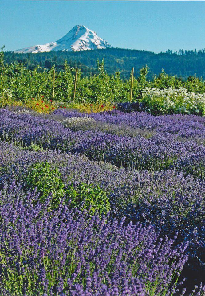 Hood River Lavender Farms - Mt Hood from the Lavender Farm