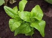 Meadow Mist Farm - Deer Tongue Heirloom Slow Food Loose Leaf Lettuce