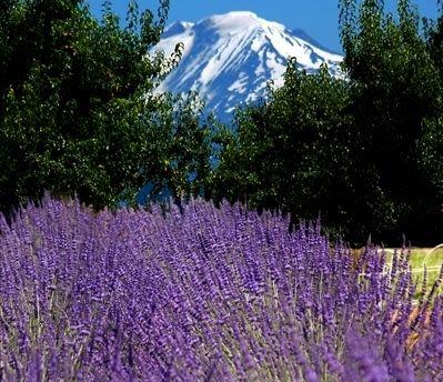 Hood River Lavender Farms - Mt Adams from the Lavender Farm