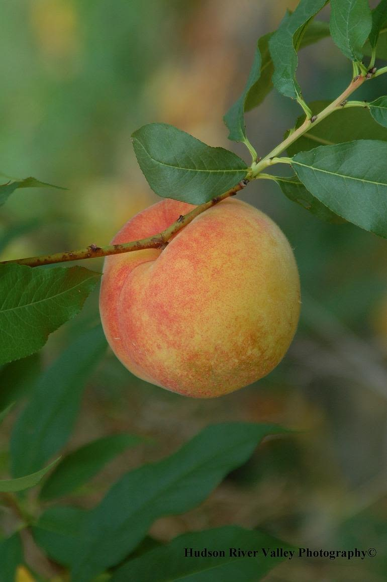 Prospect Hill Orchards-Peaches - Image 0