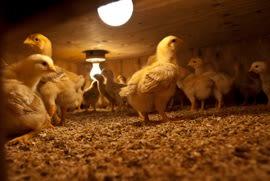 Meadow Mist Farm - Raising Baby Chicks in their Hover At Meadow Mist Farm