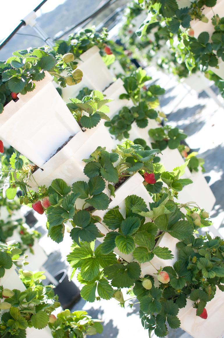 Temecula Valley Strawberry Farms - Our Hydroponic Strawberries!