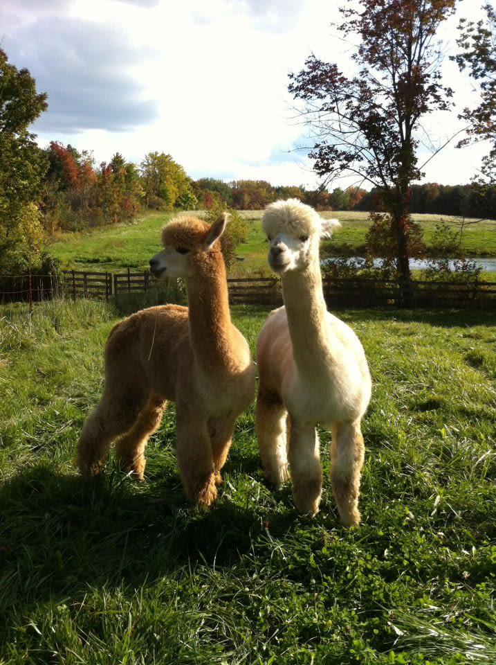 Smaht Fahm - Two of our alpaca males, Darwin and Mozart