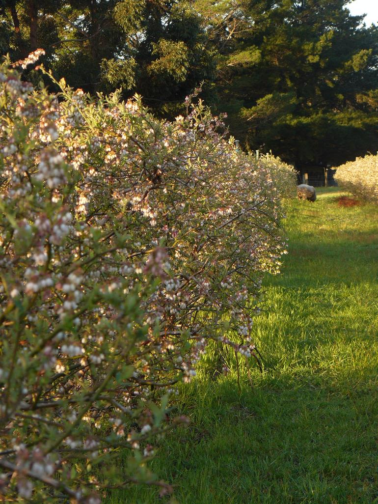 Collie Blueberry Farm - A blueberry row in flower, October.
