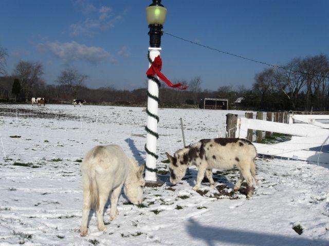 Simcock Farm - Eeyore and Pancho