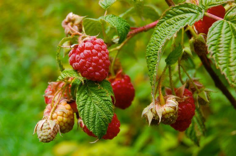 Meadow Mist Farm - Red Raspberries