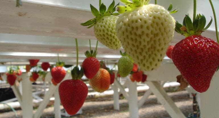 Hedgerows Hydroponic Strawberries - Under the tables is where the best strawberries grow, clean and beautiful