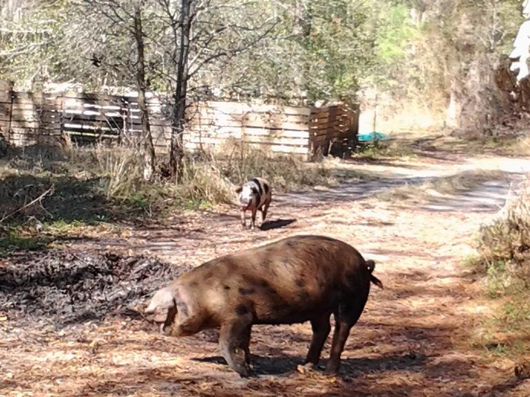 Nature Delivered Farm - ...and sometimes our piggies make a big wallow out of our driveway.  But, we don't mind.
