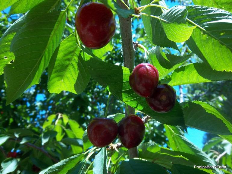 Rocky Top Fruit - Image 6