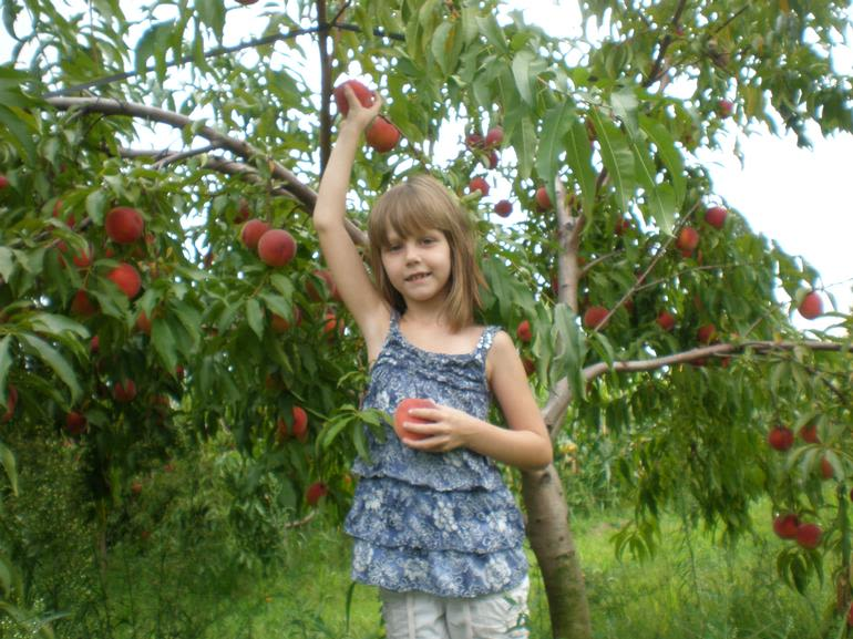 Livengood's Berry Patch - Picking peaches at the Berry Patch
