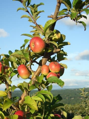 Alyson's Orchard - Apples