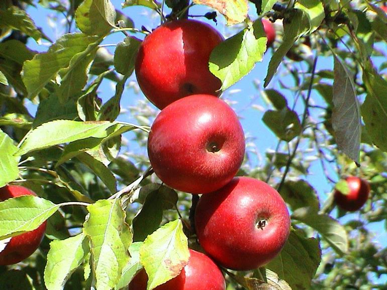 Orchard Beach Farm - 10 apple varieties.