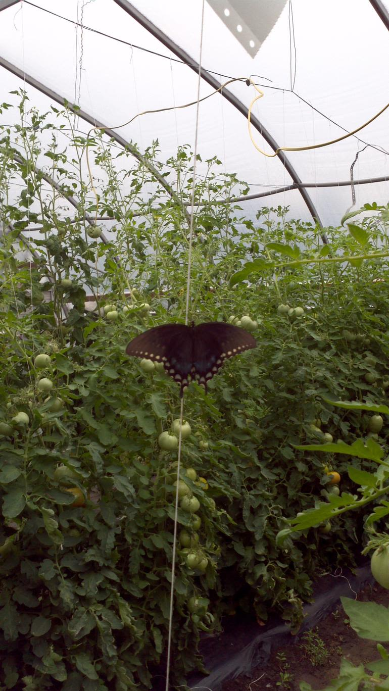 Trim Pines Farm - Butterfly lighting on a tomato trellis in the high tunnel