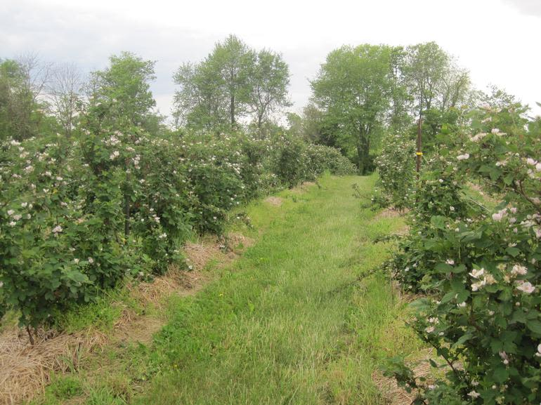 Fairfield Fruits - straw mulched blackberry rows