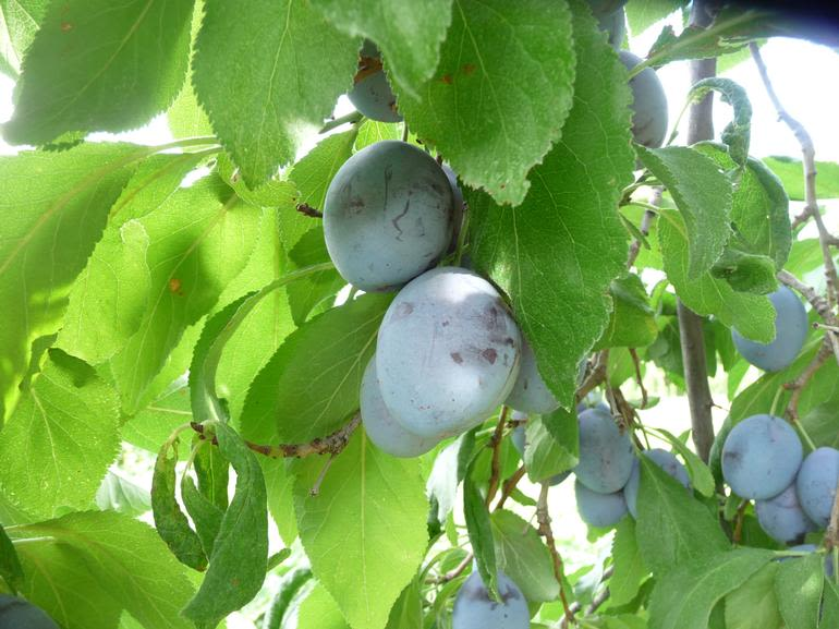 McMillan Farms - Italian prune plums