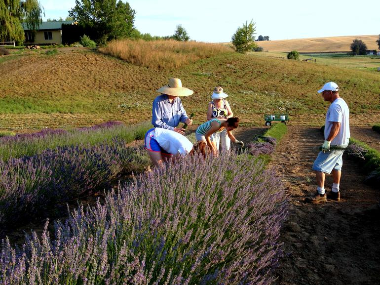 Blue Mountain Lavender Farm - Image 6