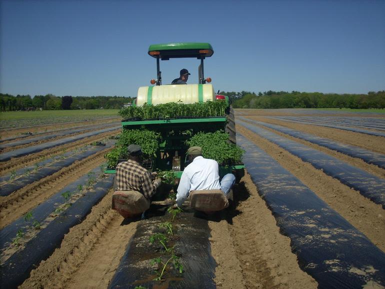 Ward's Berry Farm - Planting tomatoes
