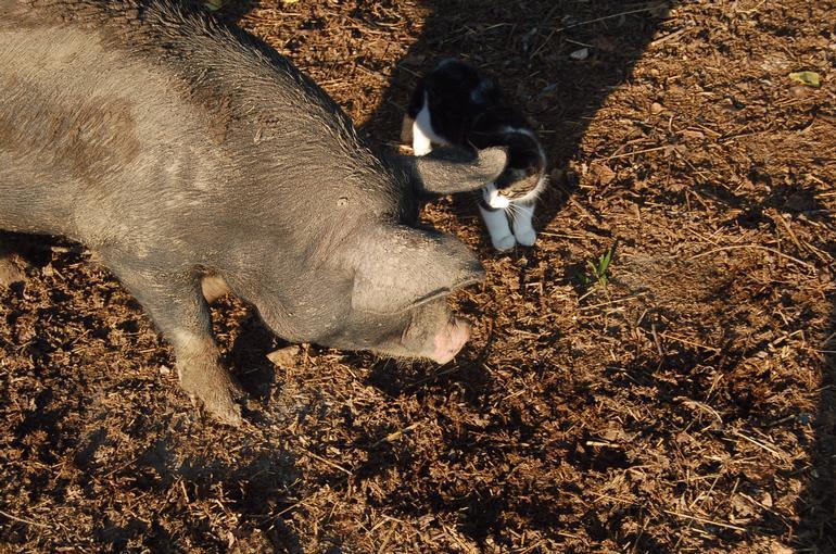 Alverstoke farm B&B - Pickle the barn cat enjoying piglet company.