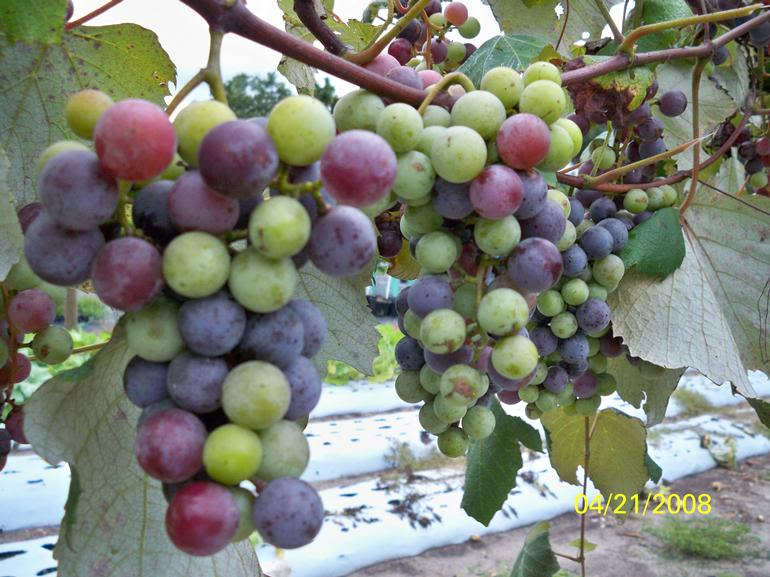 Fort Lonesome Farm - Blueberrie Grapes, Yes, Taste just like Blueberries. Season for these tasty grapes start June thru Mid July. $1 a pound, while they last! 22 Vines growing crazy.