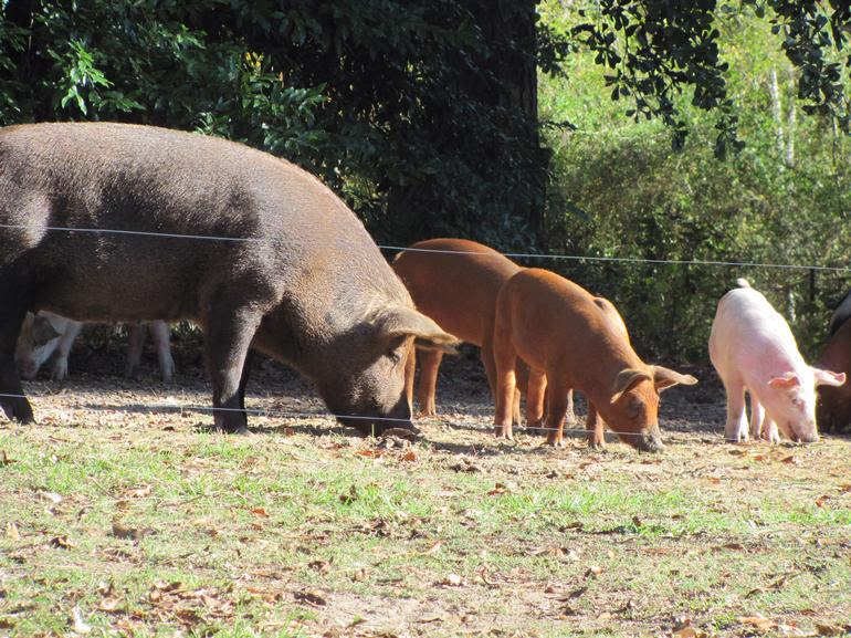 Sunny Cedars Farm - Pannage: letting pigs forage on acorns and root through new ground