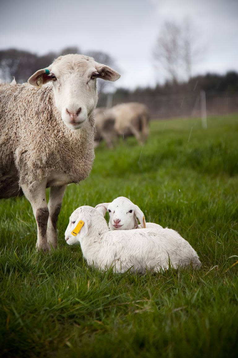 Afton Field Farm - Little twin lambs.