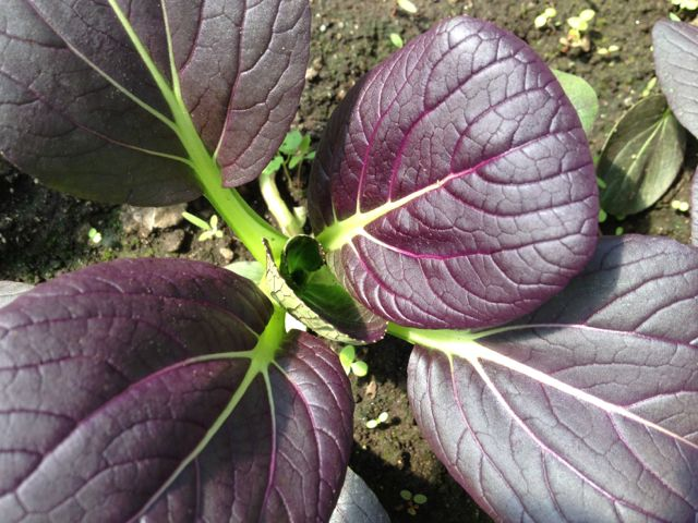 Meadow Mist Farm - Red Bok Choy Growing At MMF