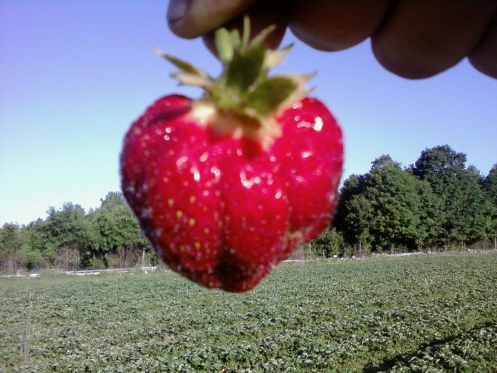 "Rossview Farm - A ""Cavendish"" strawberry. One of many sweet varieties we grow!  Our motto: To grow a berry so sweet 'tis sinful!"