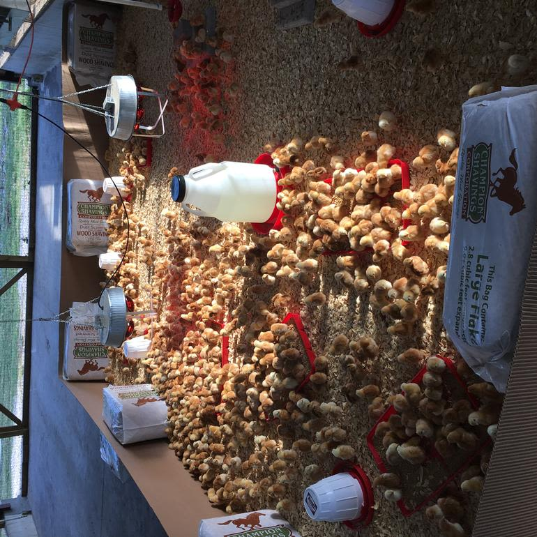 Lake Meadow Farms - red broilers growing on our meat bird farm