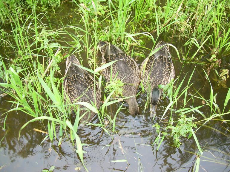 Meadow Mist Farm - Ducks
