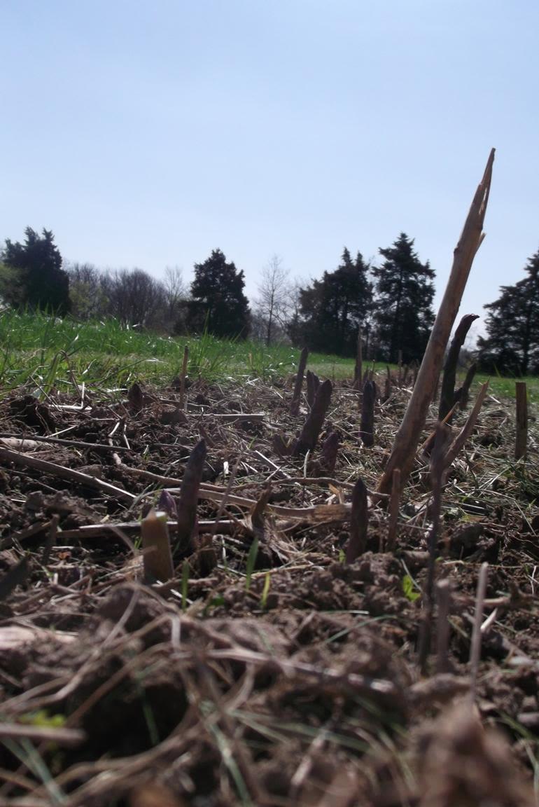 Boulder Belt Eco-Farm - Asparagus spears emerging from the soil