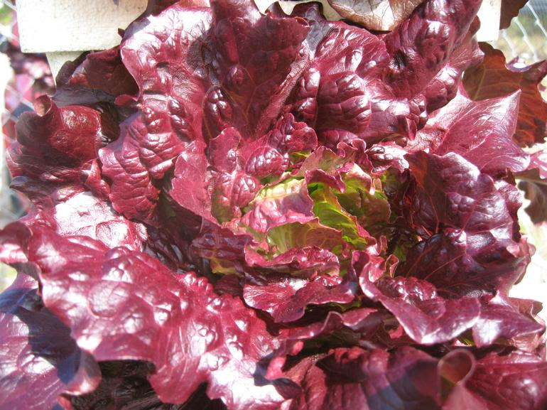 HYDRO HARVEST FARMS - Red Lettuce