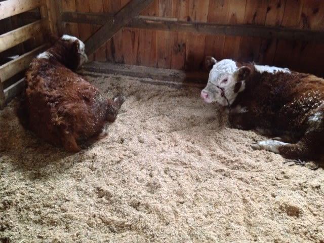 Meadow Mist Farm - Our Calves White Faced Herefords