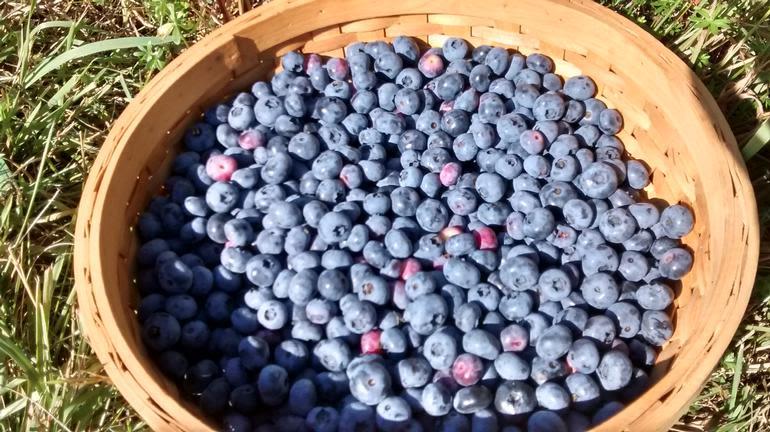 Brick House Acres - U-pick organic blueberries in July