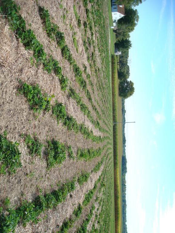 ofallonstrawberries - Here is a picture of our strawberry field
