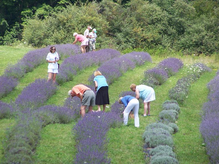 DayBreak Lavender Farm - A beautiful day for lavender bouquet picking. However, we are open rain or shine. If it rains, bring an umbrella and we'll be here. We supply shears, bundlers and all you'll need. You bring the sturdy shoes!!